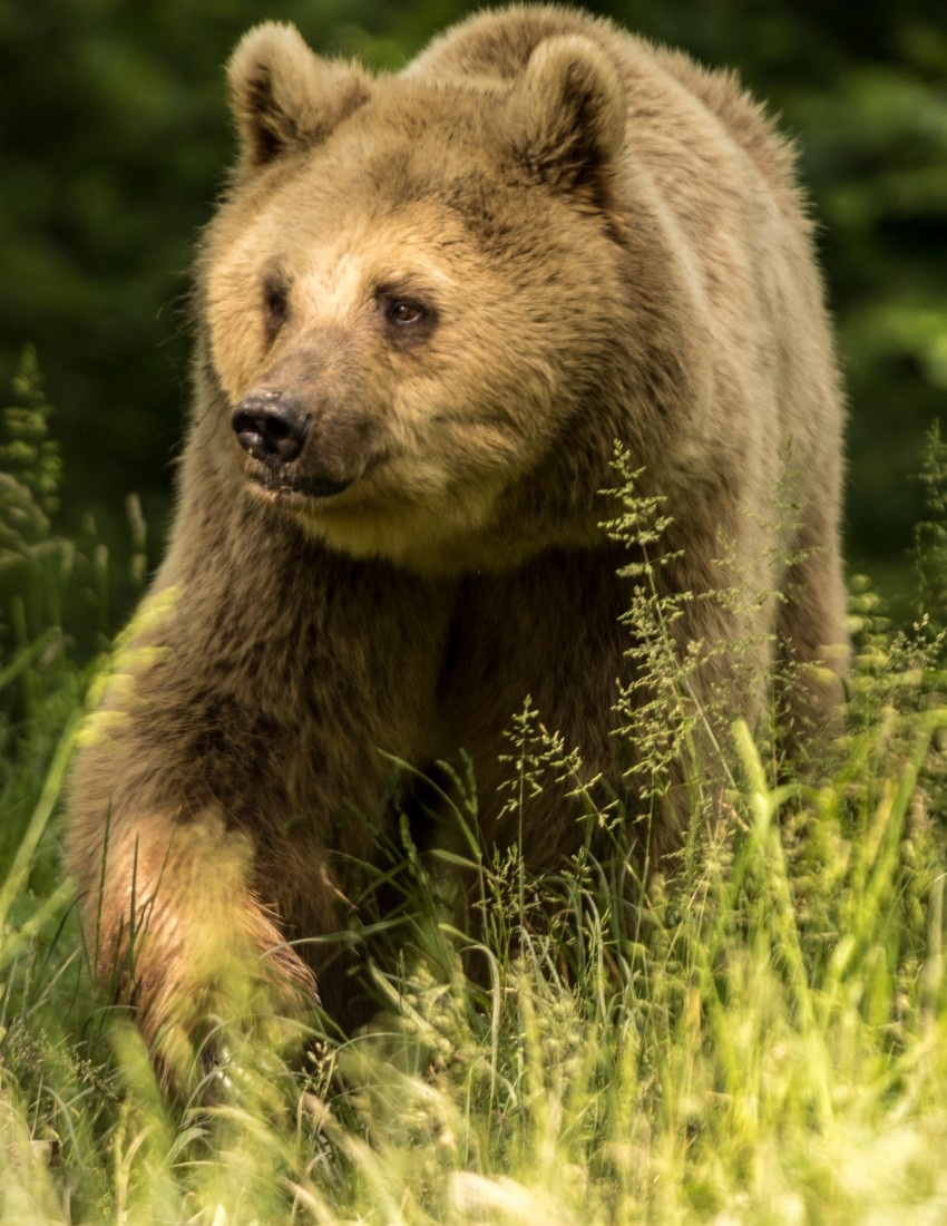 Brown Bear Watching in Transylvania
